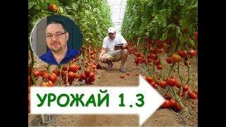 Как вырастить томаты ( помидоры) в теплице? Выращивание томатов в теплицах (продлённый оборот)