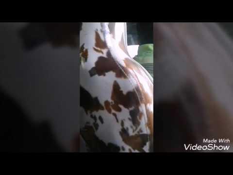 Chepe de paseo en paramaribo