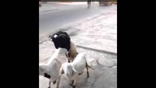 Mouton en chaleur à dakar