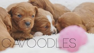 Chevromist Red Toy Cavoodle Puppies May 2015