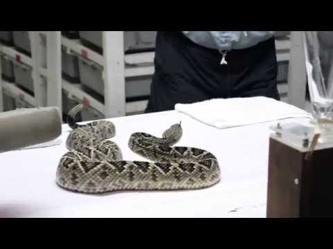 Venom Extraction: Eastern Diamondback Rattlesnake