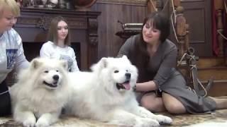 Самоеды - чудесные собаки.