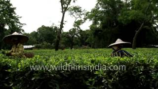 Women tea workers pluck tea leaves in Assam