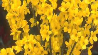 Show Off Forsythia - More flowers than all others