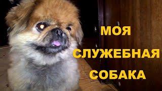 Пекинес. Моя любимая и верная служебная собака (нарезка, юмор)