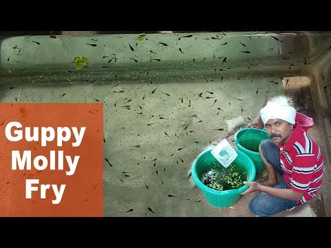 Collecting Guppy Fish And Molly Fish Fry