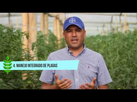 Las Cinco Claves De éxito En Un Cultivo De Tomate