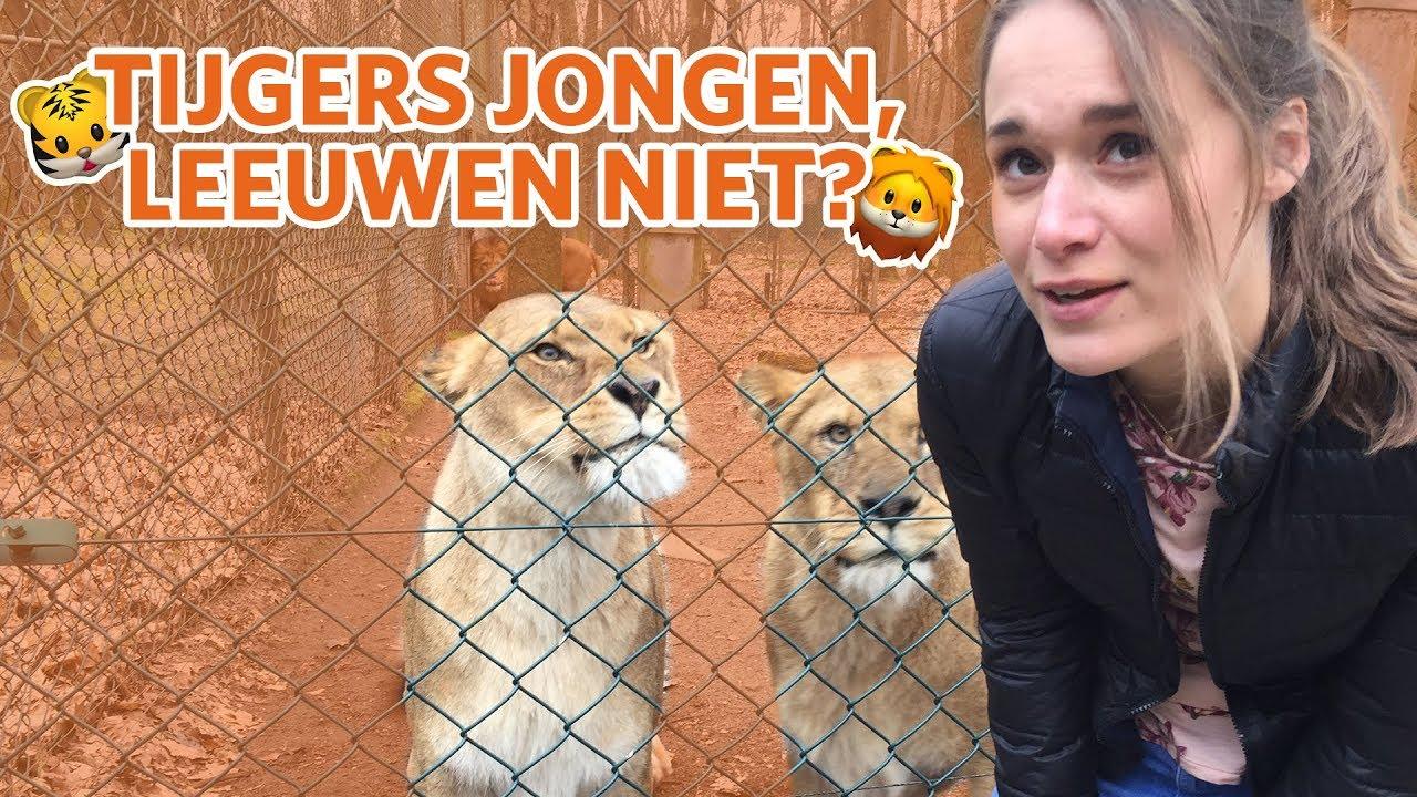 🦁🐯 Wel jonge tijgers, geen jonge leeuwen? 🐯🦁