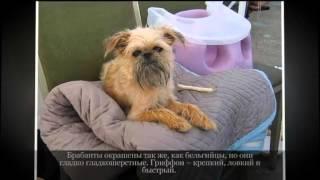 Маленькие породы собак  Брюссельский гриффон