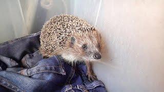 История Шуши. Нашли ежика со сломанной лапой. Еж, ежи, ежик, ежики, hedgehog.