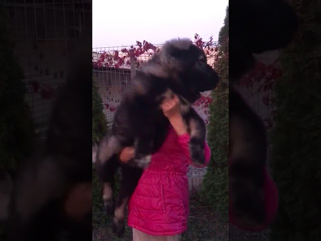 Female # 02  for sale 3.5 months (video 1)