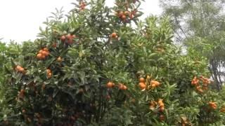 The Wonderful Kumquat