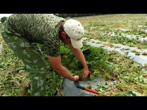 Стоит-ли обрезать листья клубники. мое мнение.