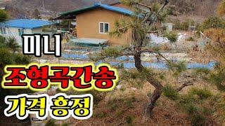 조형소나무2108편(가격흥정)