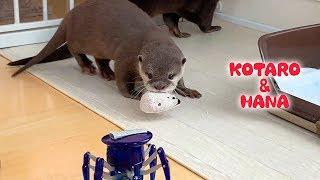 カワウソコタローとハナ 動くおもちゃが怖いハナと余裕のコタロー Otter Kotaro&Hana Spooked by Moving Toys
