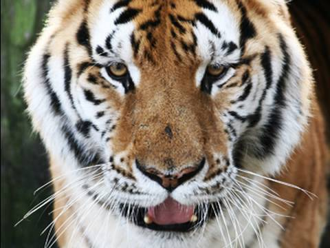 tiger - photo #5