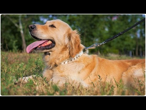 Charming Golden Retriever shows his Favourite White Leather Dog Collar