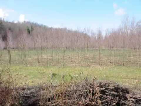Leyland Cypress Near  Princeton