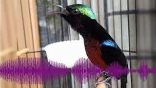 Gambar cover [Audio Master] Suara Burung Kolibri Ninja Gacor Ocehan Si Master Kicau