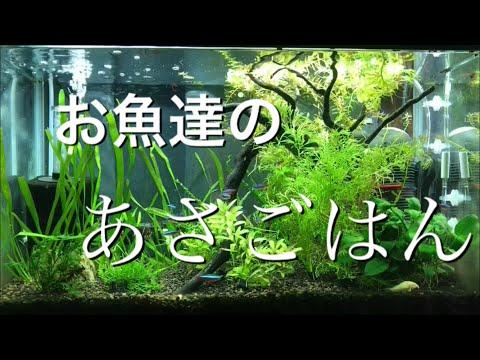 アクアリウム エサ熱帯魚のエサやり風景