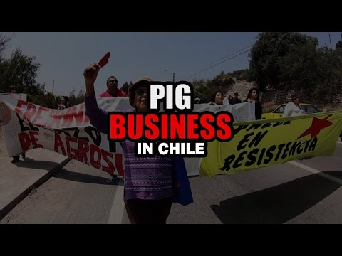 Pig Business in Chile (English subtitles)
