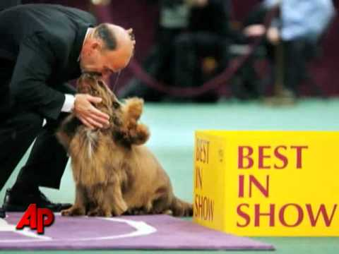 10-year-old Sussex Spaniel Wins Westminster Sh