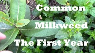 Growing Common Milkweed. The First Year of Growth After Fall Planting.