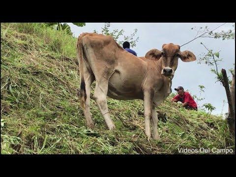 Wow increíble! Vacas en la punta de los cerros sin que nadie las cuide  y no se caen.