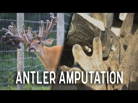 Cutting Antlers off Big Whitetail Buck