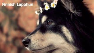 Finnish Lapphund  large size dog breed