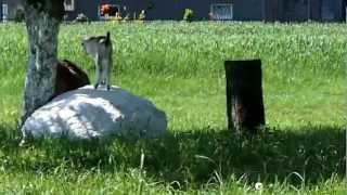 Młode kozy