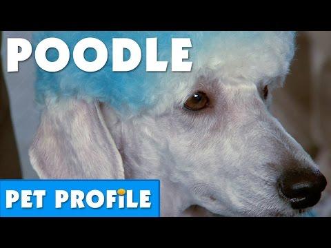 Poodle Pet Profile | Bondi Vet