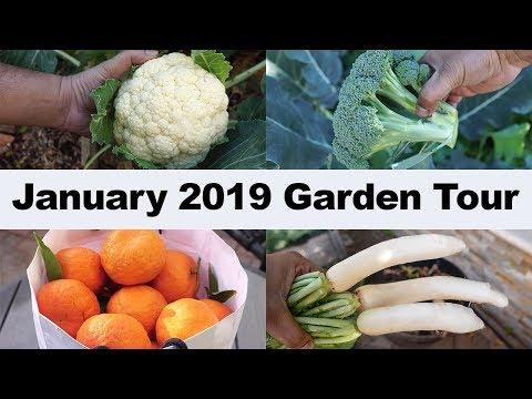 california-garden---january-2019-garden-tour---gardening-tips,-harvests-&-more!