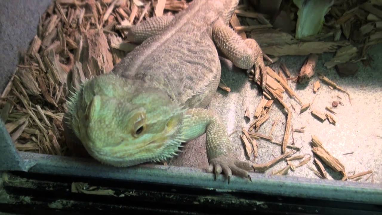 Leatherback Bearded Dragons For Sale  Buy at Big Apple Pet with Same Day  Shipping