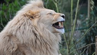 Funny Lion laughing  7 second of happiness FUNNY Video