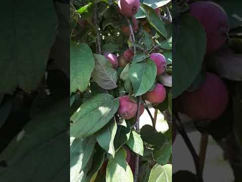 Вопрос: Какой урожай яблок будет в 2020 году?