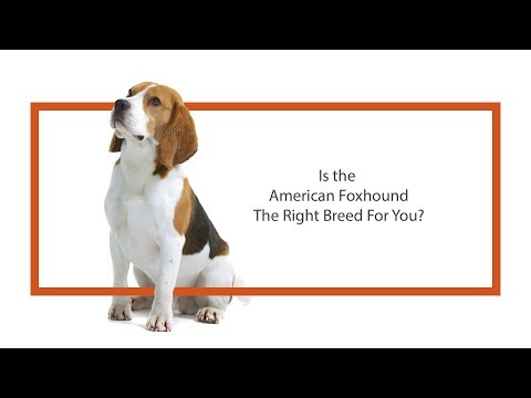 Everything you need to know about American Foxhound puppies! (2019)