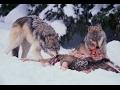 Wolves documentary  2017