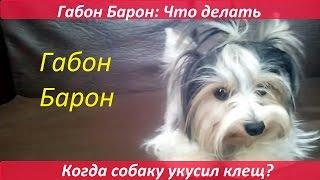 Габон Барон: Что делать, если вашу собаку укусил клещ?