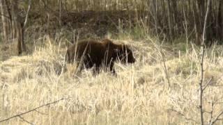 Медведь после спячки!!!!!(Данное животное не давно проснулось и теперь шарит в поисках пищи по тайге Камчатки!!!!, 2012-04-14T14:09:45.000Z)