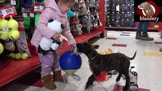 Bringing Home My Malinois/Dutch Shepherd Puppy