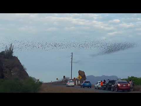Cueva de murciélagos Los Mochis, Sinaloa