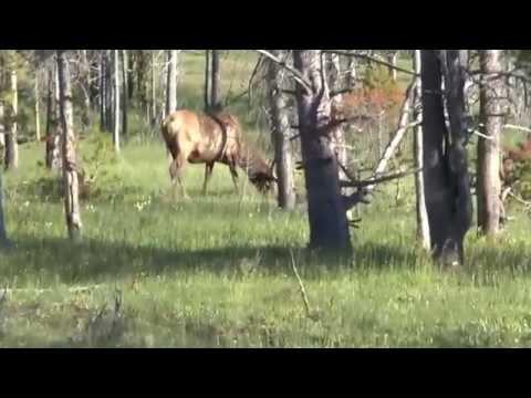 Yellowstone   7 July '14   Elk Encounter #1