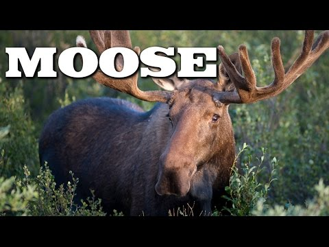 Thumbnail: All About Moose for Kids: Animal Videos for Children - FreeSchool