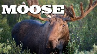 All About Moose for Kids: Animal Videos for Children - FreeSchool
