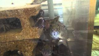 逃げるエビ、追わえるカサゴ(ガシラ) 水槽の中でバトル 和歌山釣太郎 thumbnail