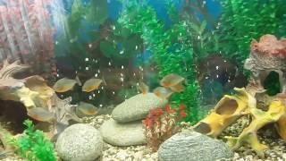 Пираньи в 600л аквариуме Зеленоградские Аквариумные Комплексы. Часть 2.