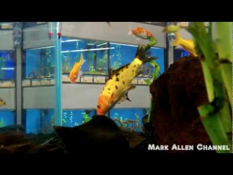 Fresh water fish at petsmart doovi for Petco koi fish