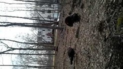 Turkeys in Ridgefield
