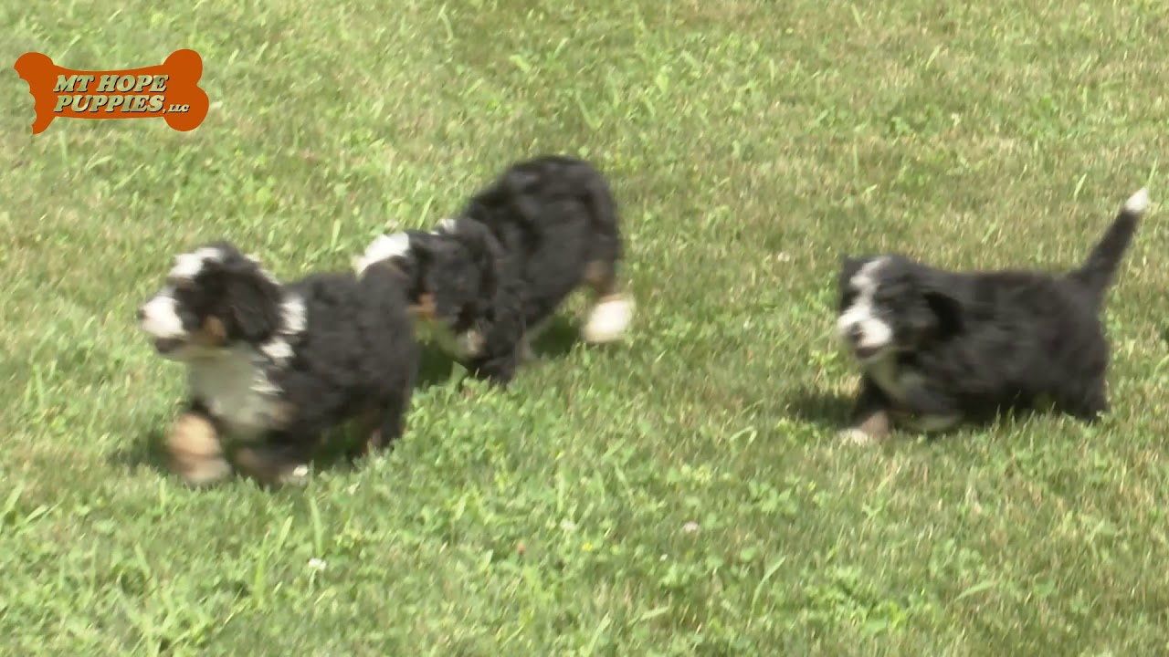 Roy Wengerd's Mini Bernedoodle puppies for sale